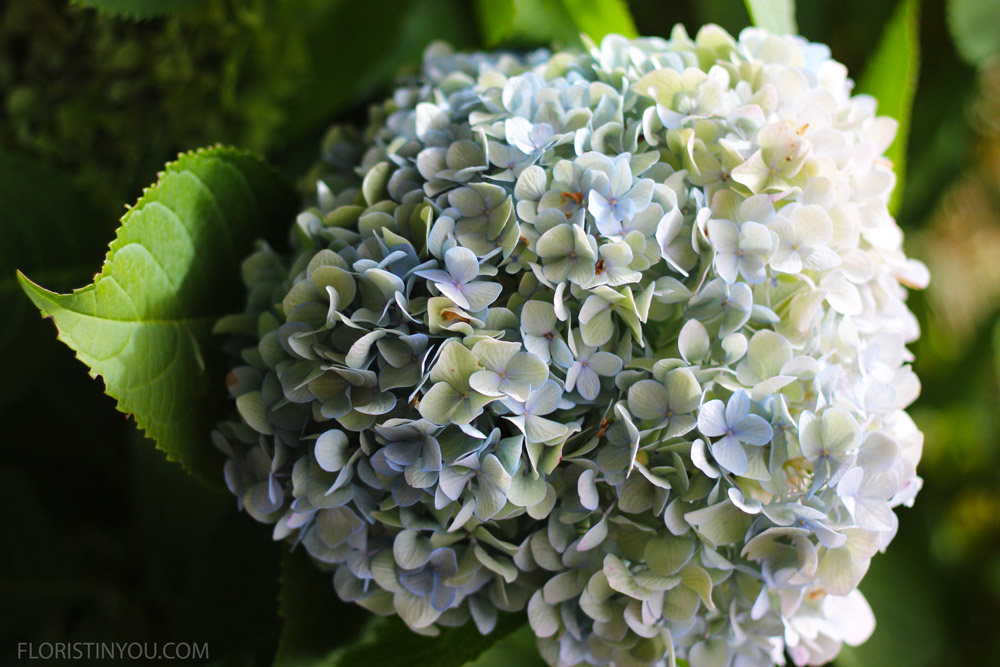 The garden had a hydrangea bush with enormous powder blue flowers.