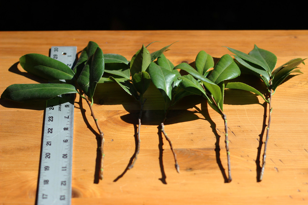 Cut 5 camellias stems with leaves 12 inches long to fill in with.