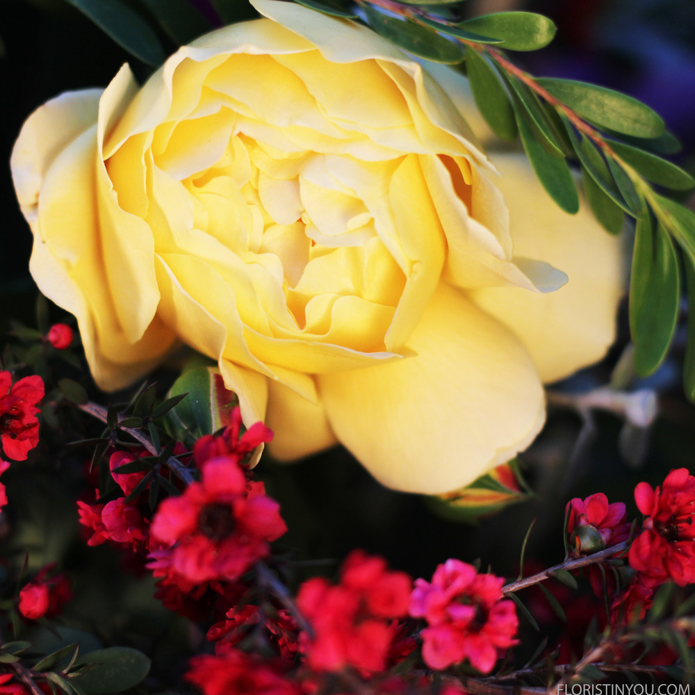 Can you believe how beautiful this yellow garden rose is?