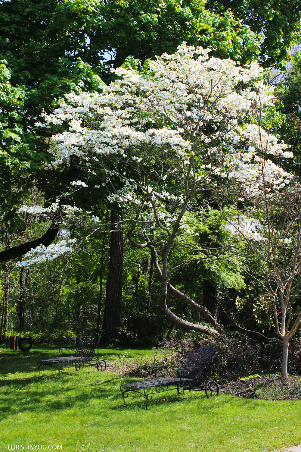 Next to the maple was a dogwood tree in bloom.