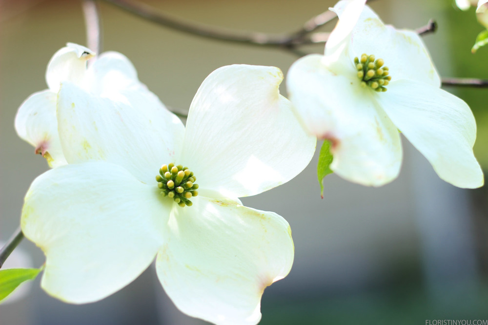 Dogwood blossoms.