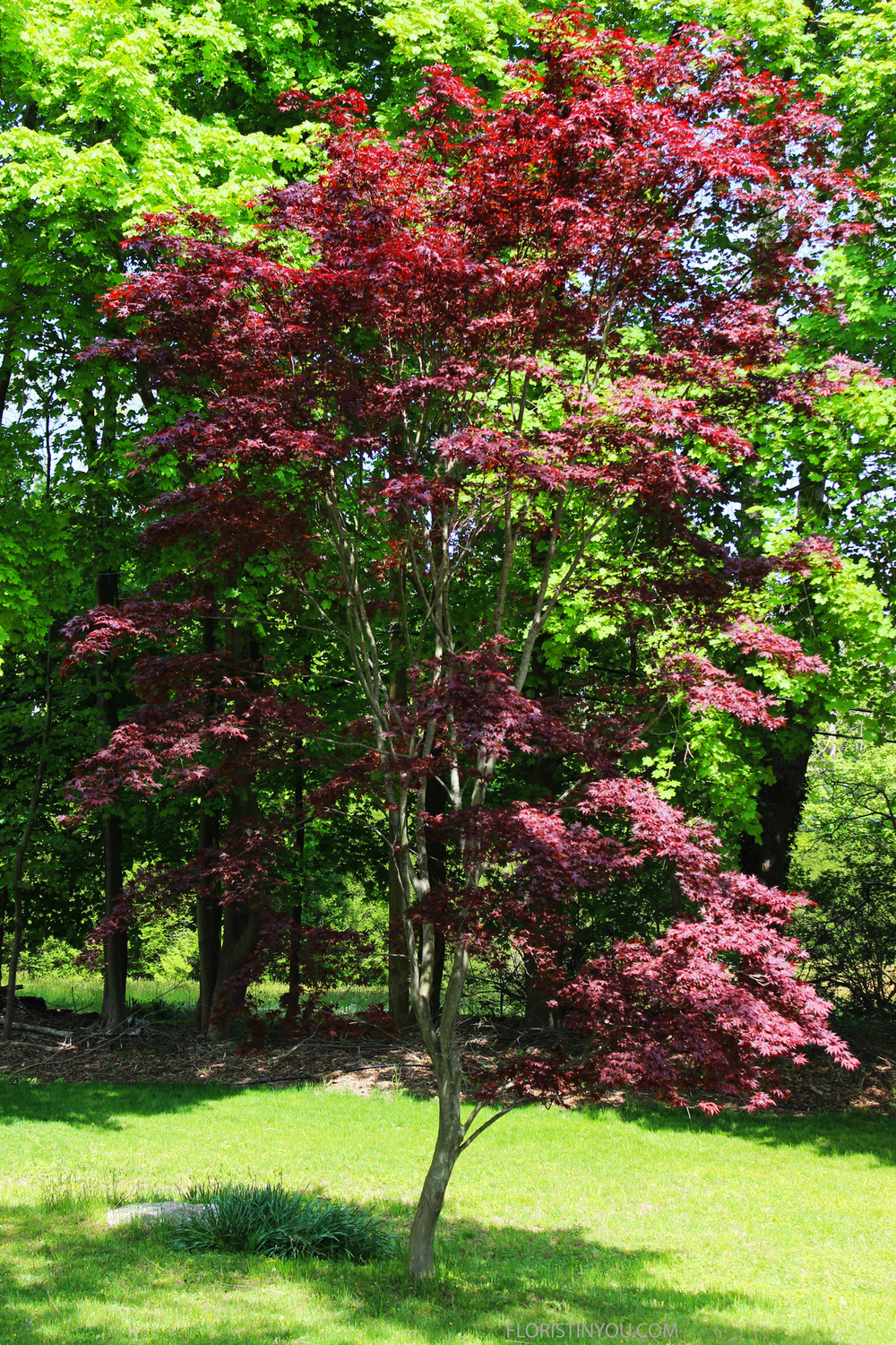 There was also a Japanese maple.