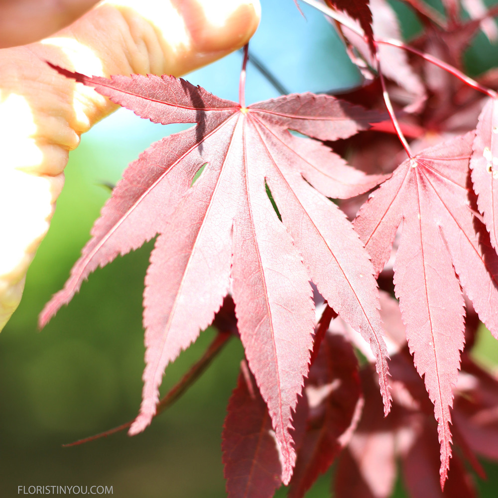 Here is a red Japanese maple leaf.