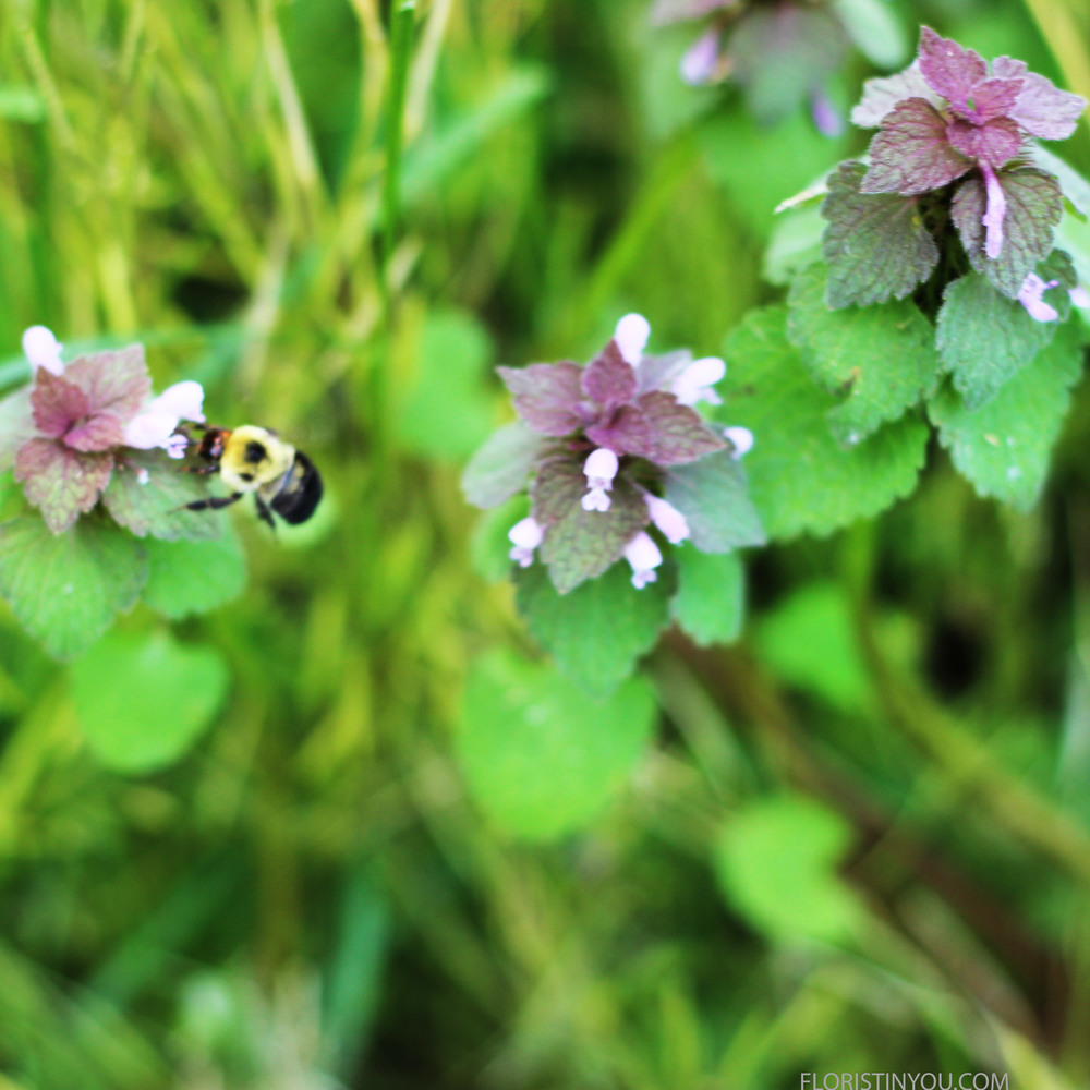 A bumble bee is busy on Red Deadnettle (Lamium Purpureum).