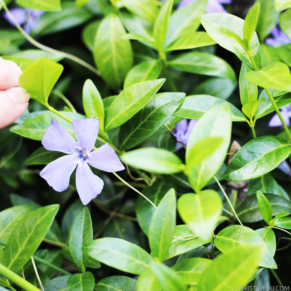 Greater Periwinkles (Vinca Major).  Periwinkle is my favorite color.