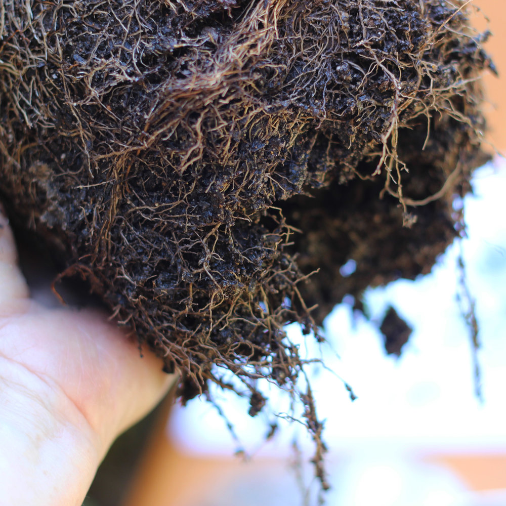 Break up bottom of root ball or cut 1/2 inch off it and fit into tub.
