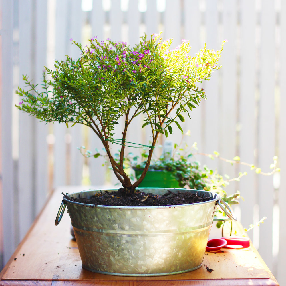 Push into back left corner of tub. You can trim bottom branches off to make bonsai.