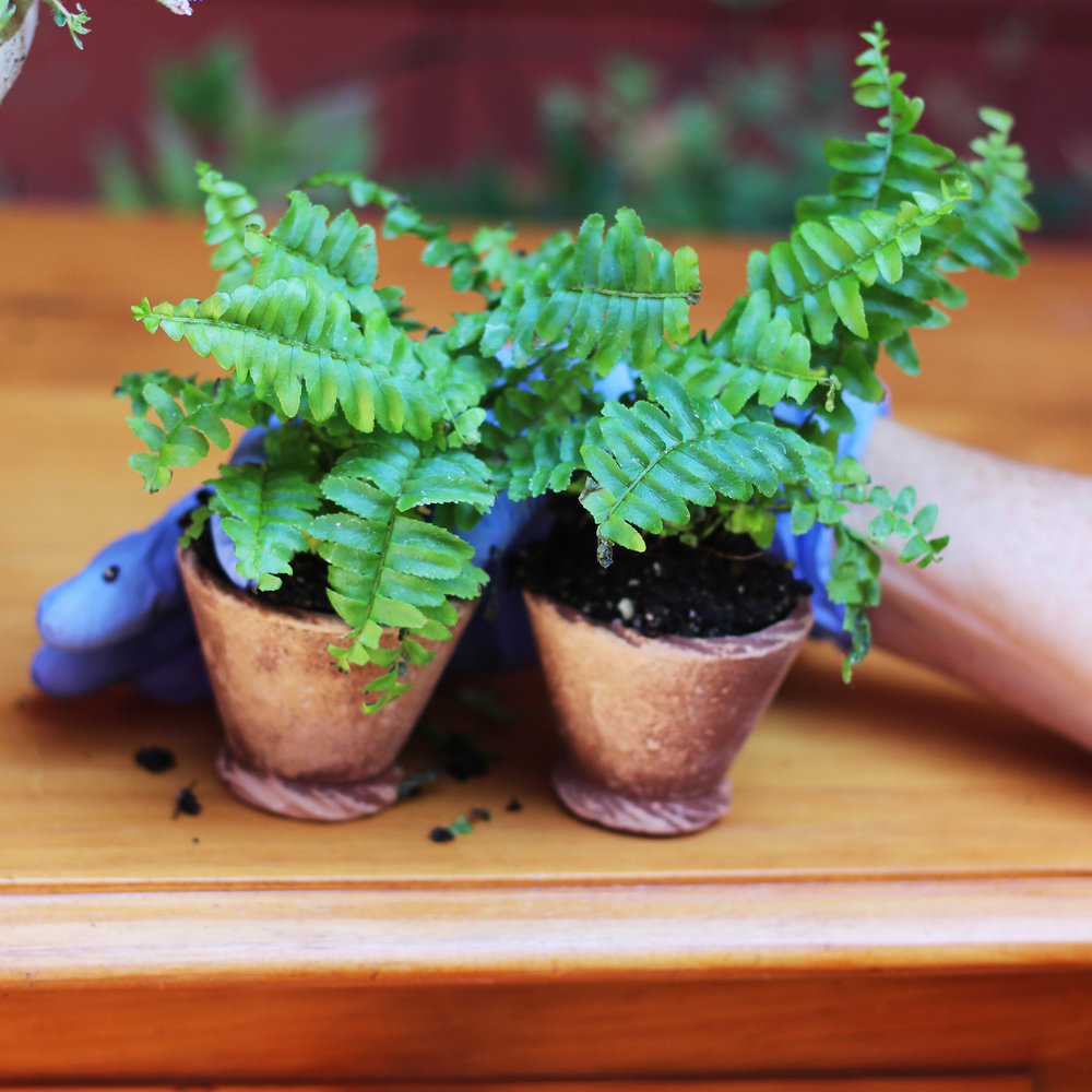 Transfer ferns from plastic into ceramic pots.