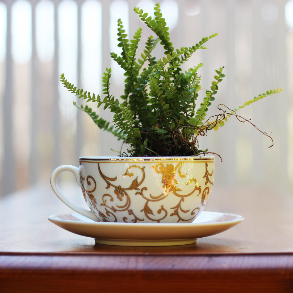 Plant Lemon Button Fern in back right of the cup.