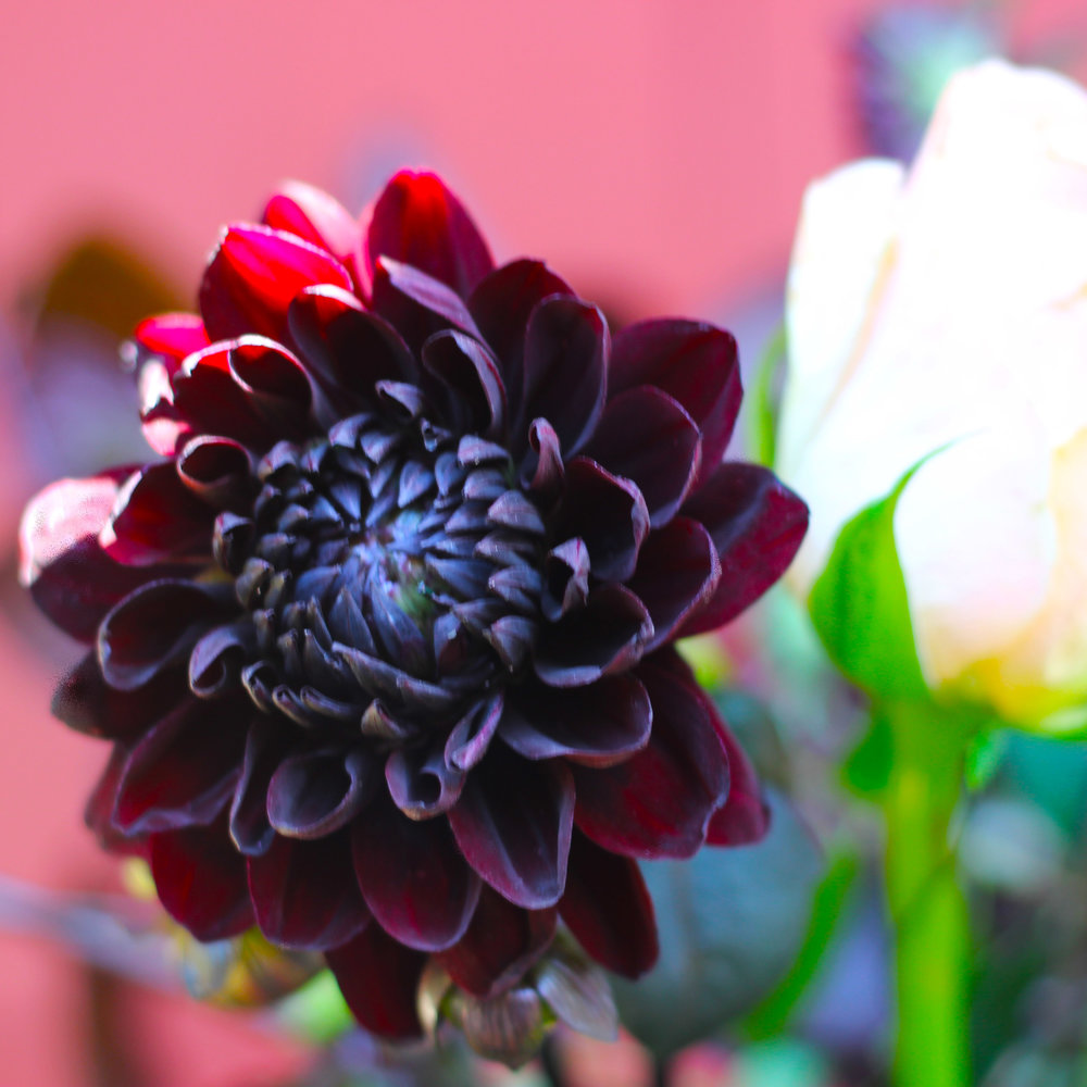 Close up of Burgundy Black Dahlia.