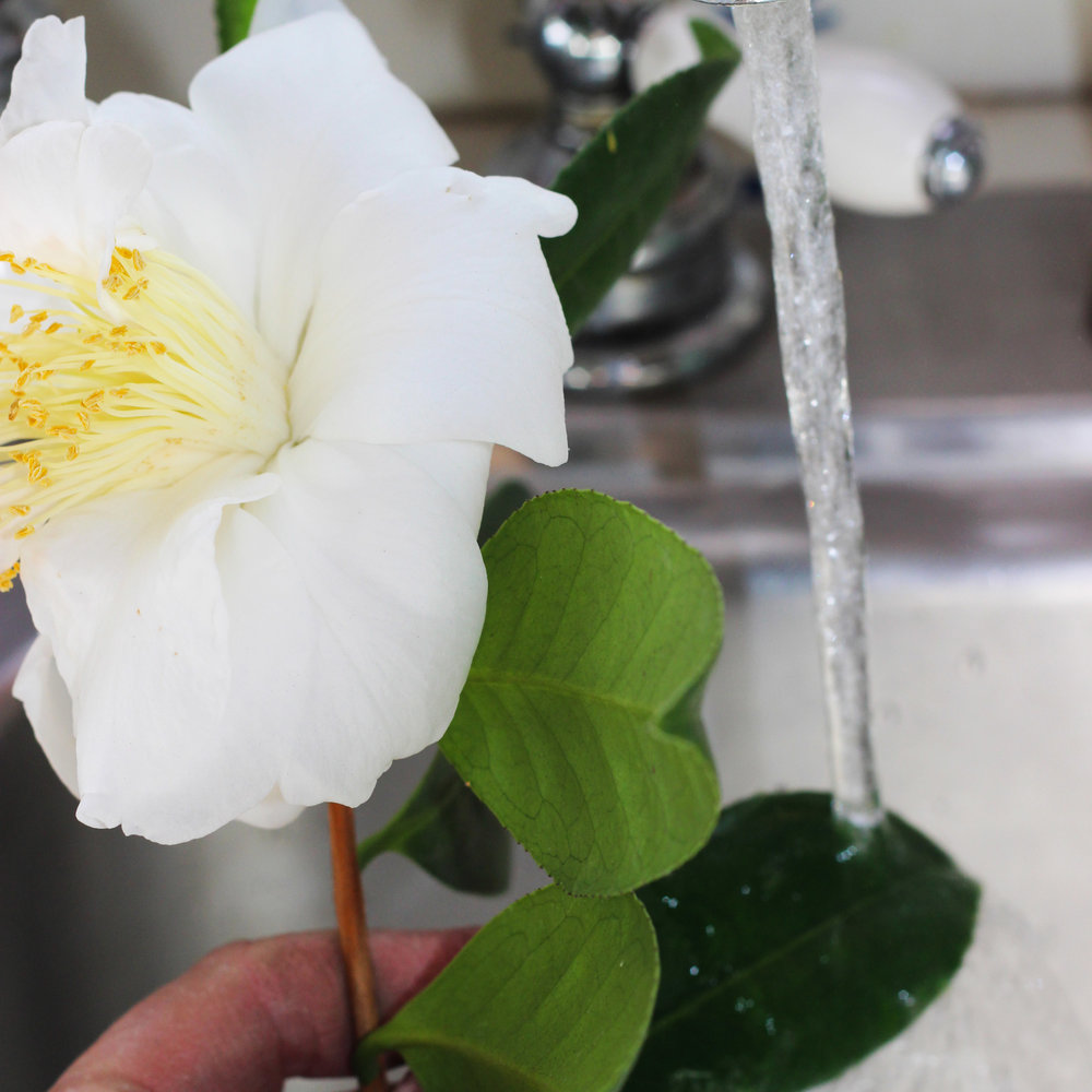 If cut from a garden, wash camellia leaves being careful not to get flower wet.