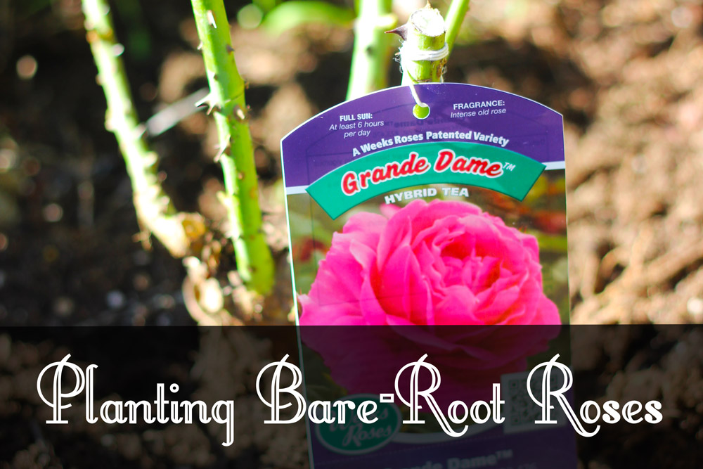 Planting Bare-Root Roses
