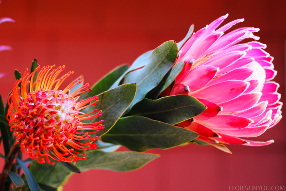 The orange Pincushion Protea and the pink Protea.