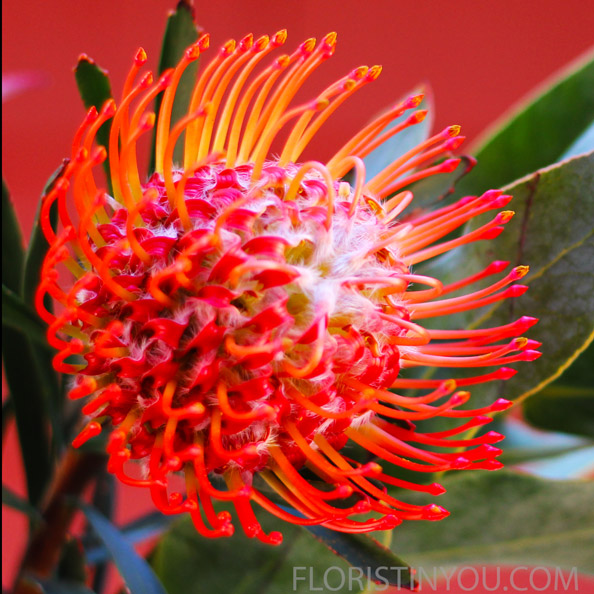 Close up of orange Pincushion Protea.