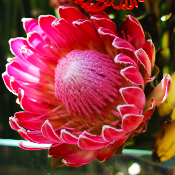Here's a close up of the Protea.