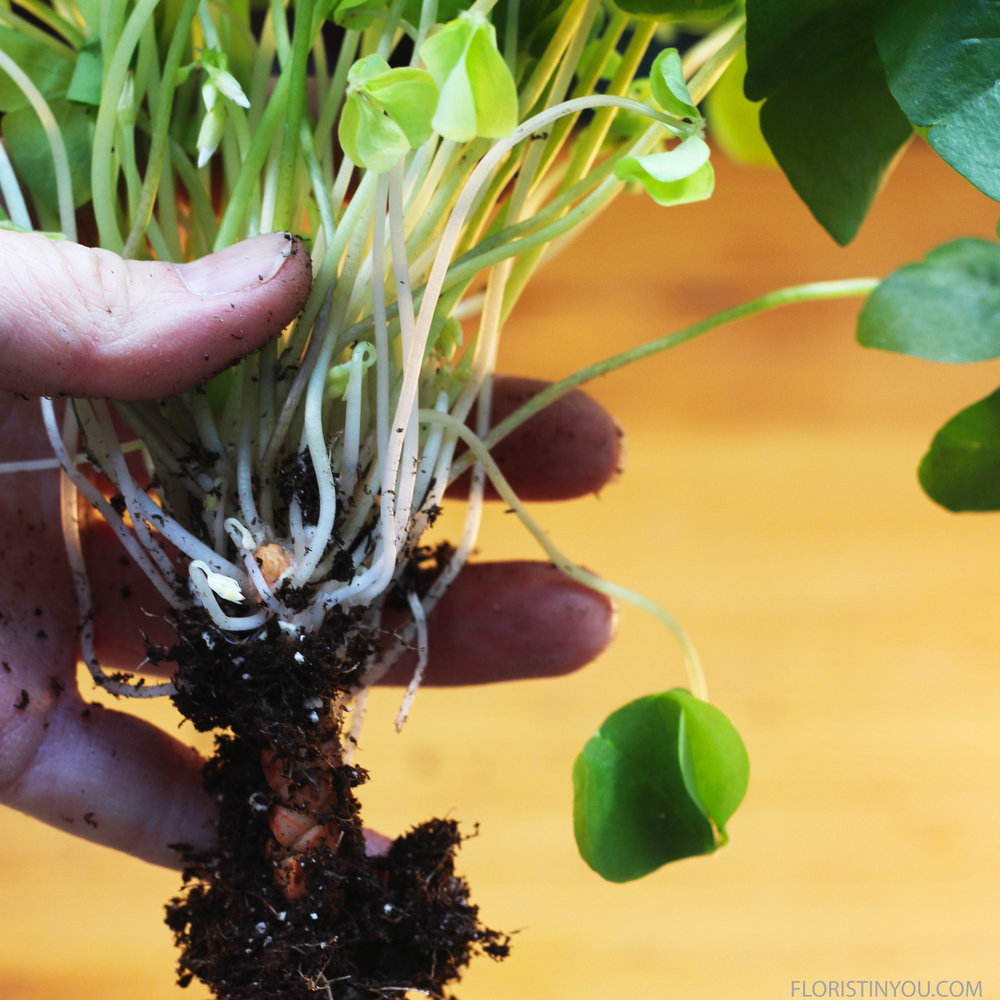 Loosen roots of Shamrock.  Select 1 root and plant.