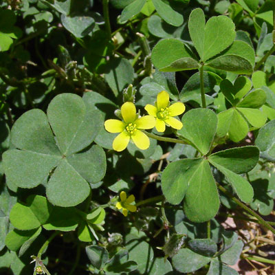 Dainty Oxalis perched royally