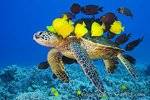 sea turtle with yellow fish aboard.jpg