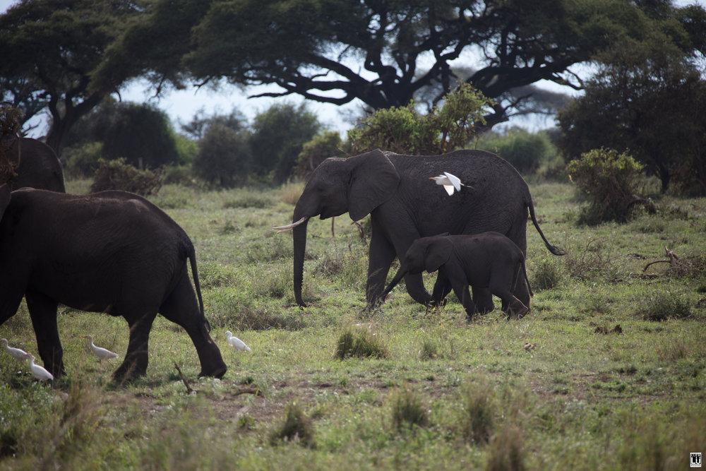 Elephants of the Amboseli National Park.