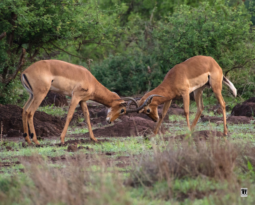 Male impalas play fighting at the Amboseli.