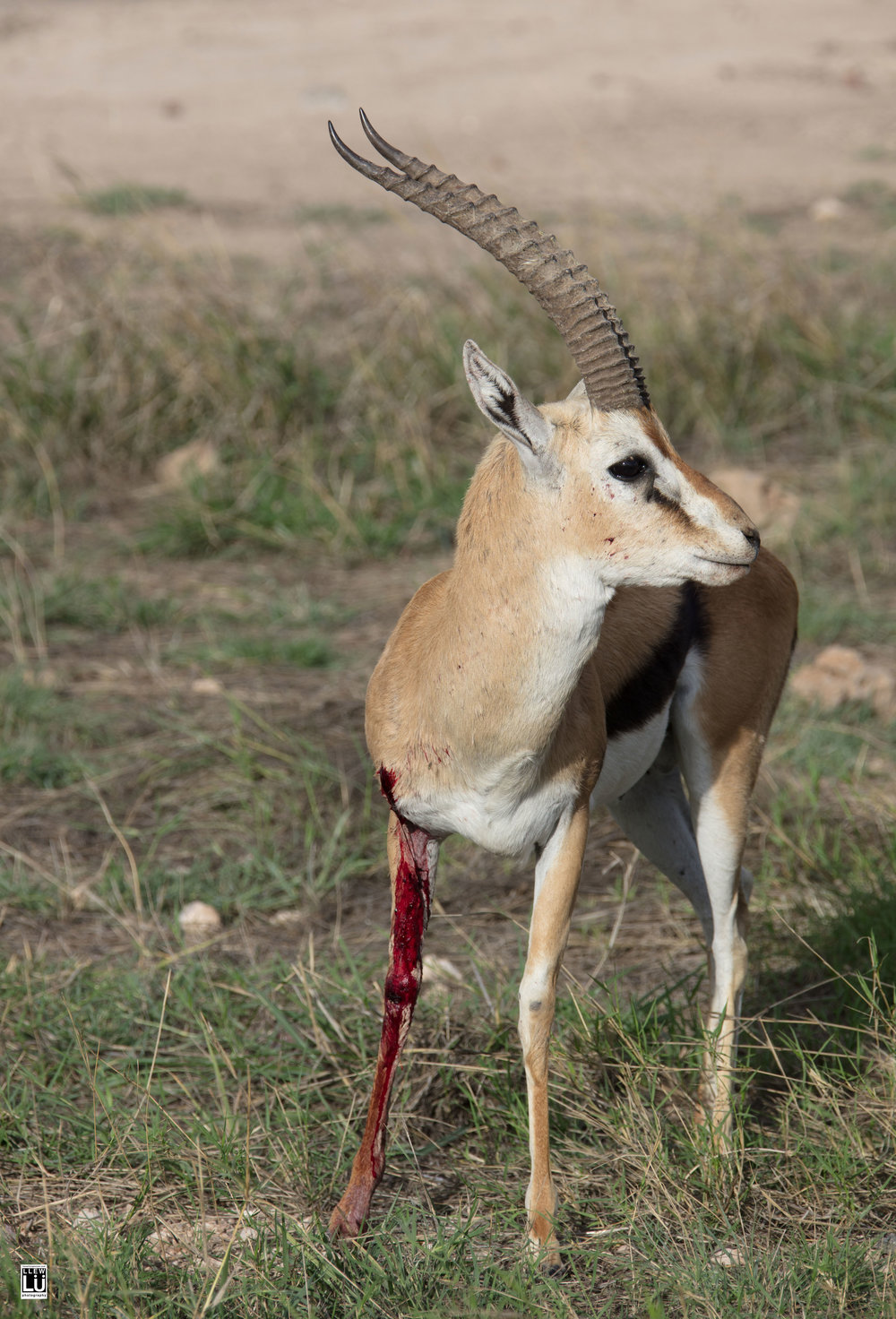 This male gazelle, at the Amboseli was punctured, most likely by another gazelle.