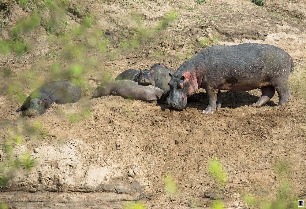 A family of hippopotami at Masai Mara, Mara River.