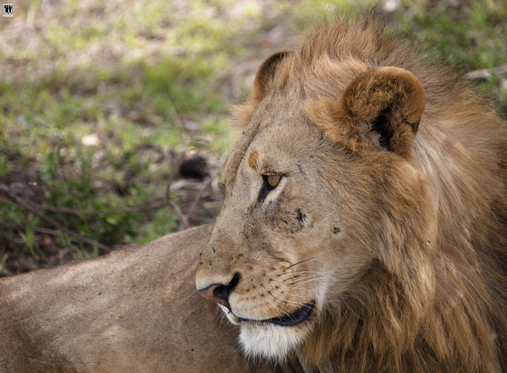 A male lion who was honeymooning when we found him. It looks like she may have left a kiss mark on his cheek.