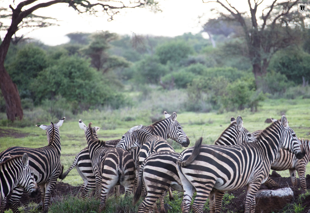 A zeal of zebras at the Amboseli.