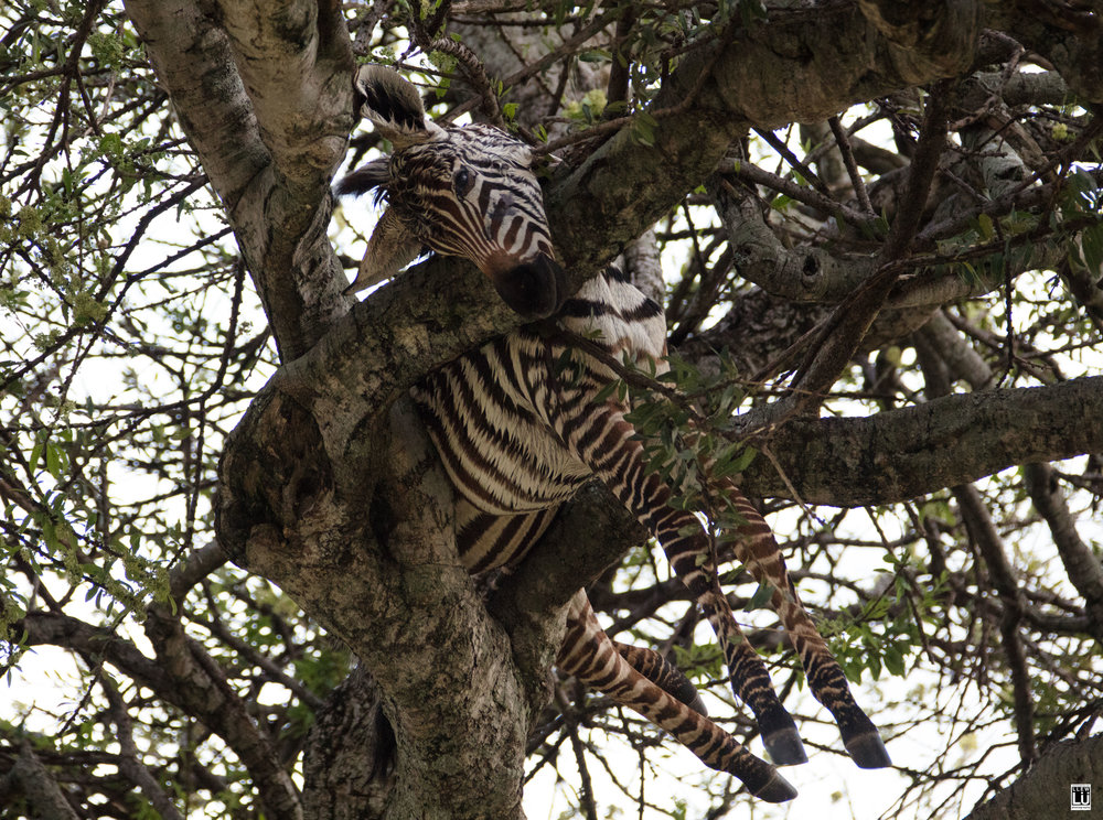 On our way out my guide pointed out another baby zebra in a tree nearby. The leopard is an opportunist, and it really shows.