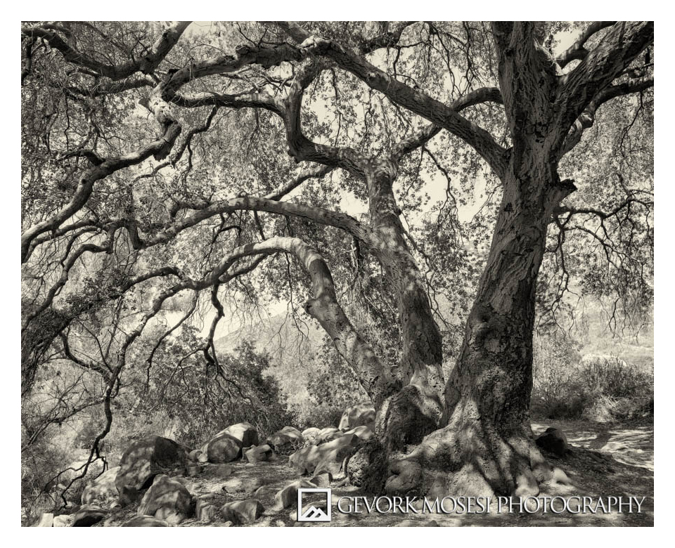 Oak Tree, Mission Trails Regional Park, Chaminix 45n-1 with Rodenstock 90mm, Tmax 100 4x5