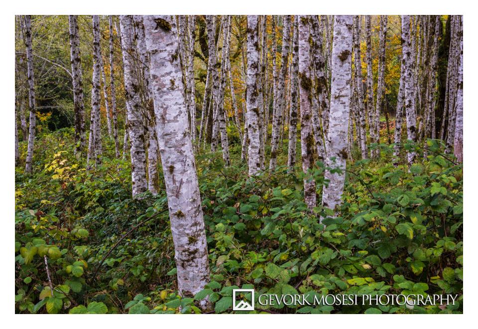 gevork_mosesi_photography_northwest_washington_olympic_national_park_hoh_rainforest_trees_autumn_hoh_rainforest_trees-2.jpg