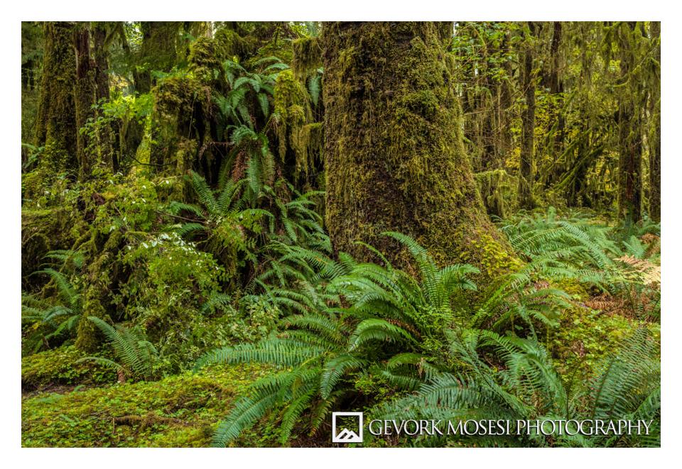 gevork_mosesi_photography_northwest_washington_olympic_national_park_hoh_rainforest_trees_autumn-3.jpg