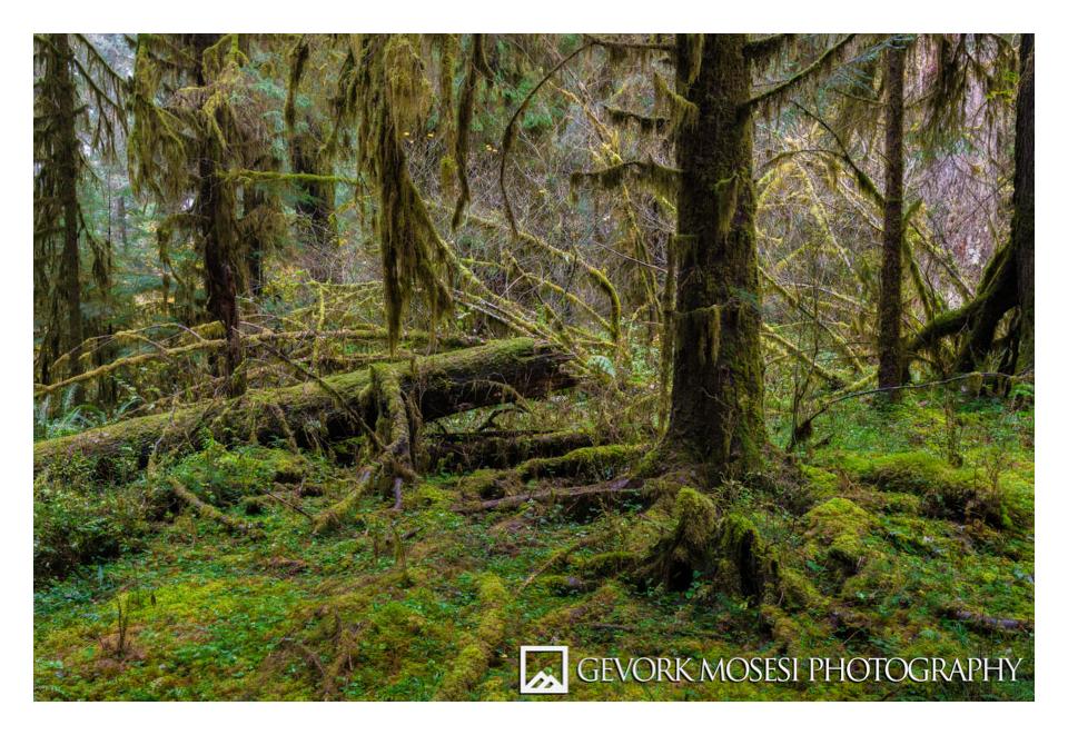 gevork_mosesi_photography_washington_northwest_hoh_rainforest_trees_landscape_nikon_d810_16-35_f4-1.jpg