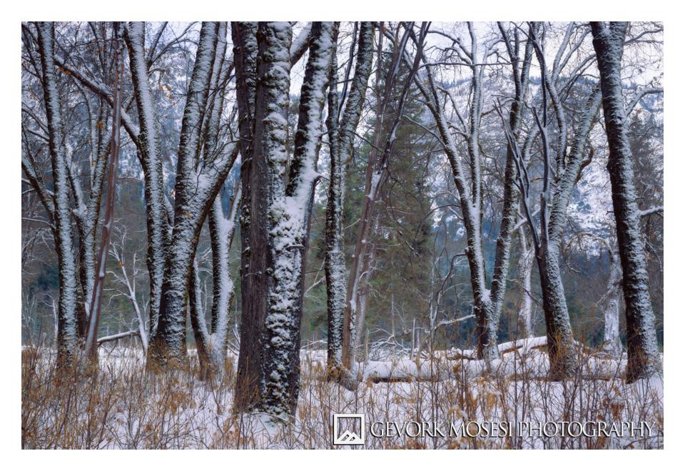 gevork_mosesi_photography_yosemite_winter_snow_el_capitan_meadows_meadow_oak_tree-6.jpg
