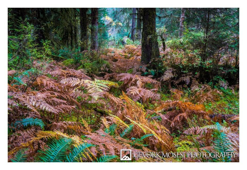 gevork_mosesi_photography_northwest_washington_autumn_leaves_fall_color_northwest_trees_Hoh_rainforest_moss_fern-2-1.jpg