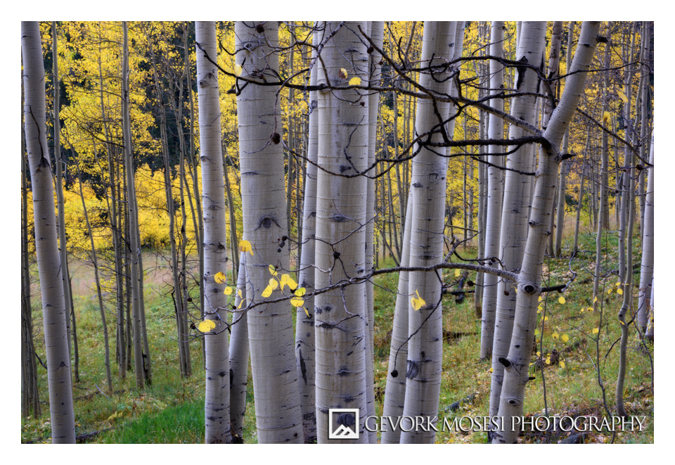 gevork_mosesi_photography_aspen_colorado_trees_autumn_fall_tree_landscape_acrylic_print_art-3.jpg