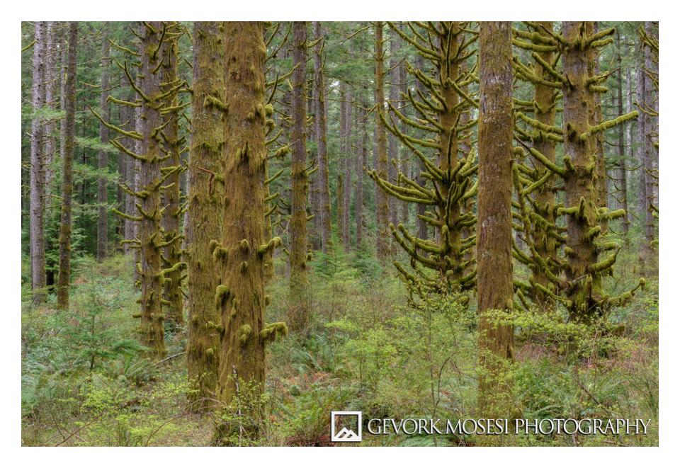 gevork_mosesi_photography_silver_falls_state_park_oregon_spruce_tree_trees_waterfall_moss_trail_portland_landscape-1.jpg