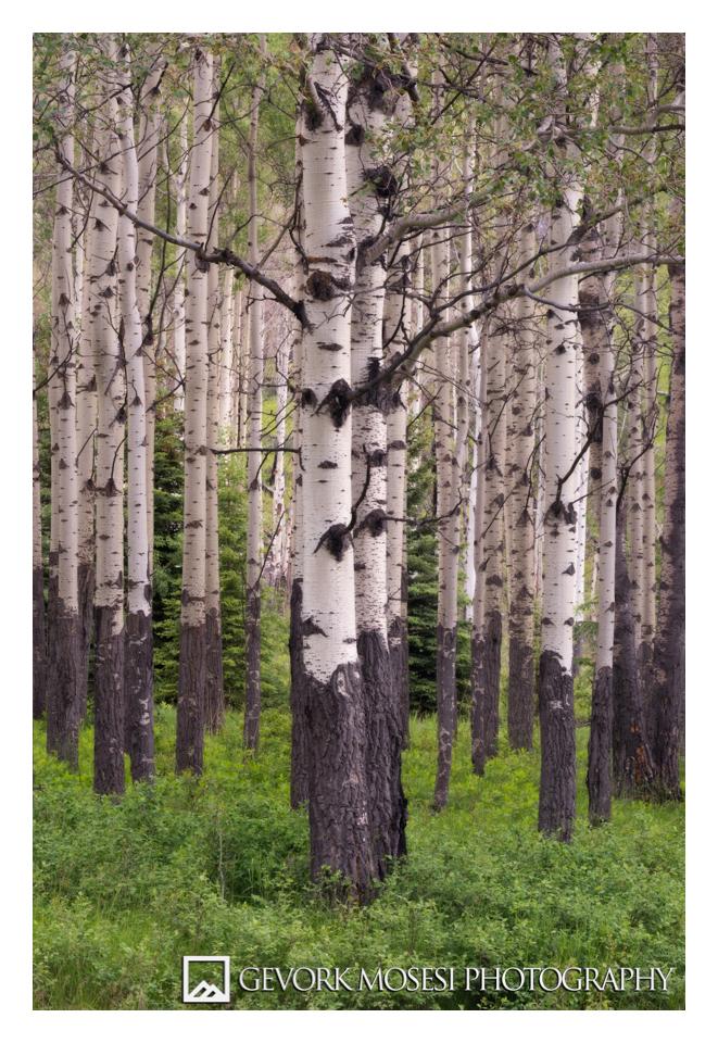 gevork_mosesi_photography_landscape_banff_alberta_canada_aspen_trees_1.jpg