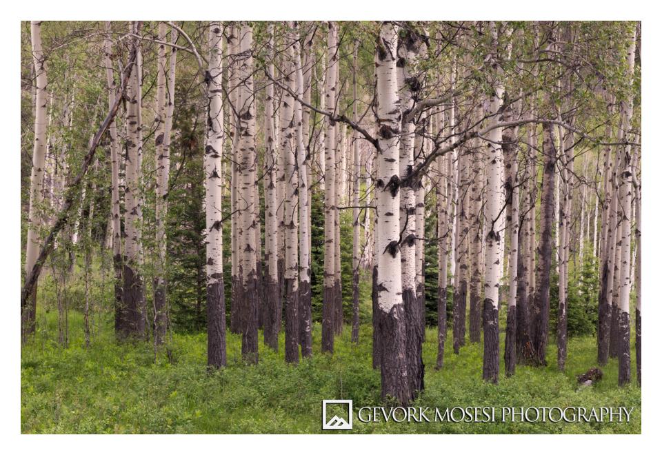 gevork_mosesi_photography_landscape_banff_alberta_canada_aspen_5.jpg