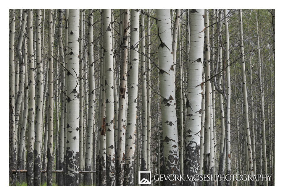 gevork_mosesi_photography_landscape_banff_alberta_canada_aspen_grove.jpg