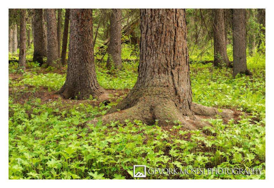 gevork_mosesi_photography_landscape_banff_alberta_canada_trees_grass_2.jpg
