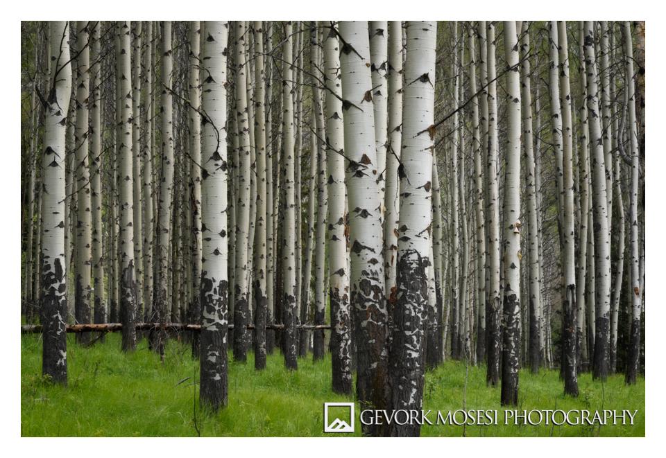 gevork_mosesi_photography_landscape_banff_alberta_canada_aspen_3.jpg
