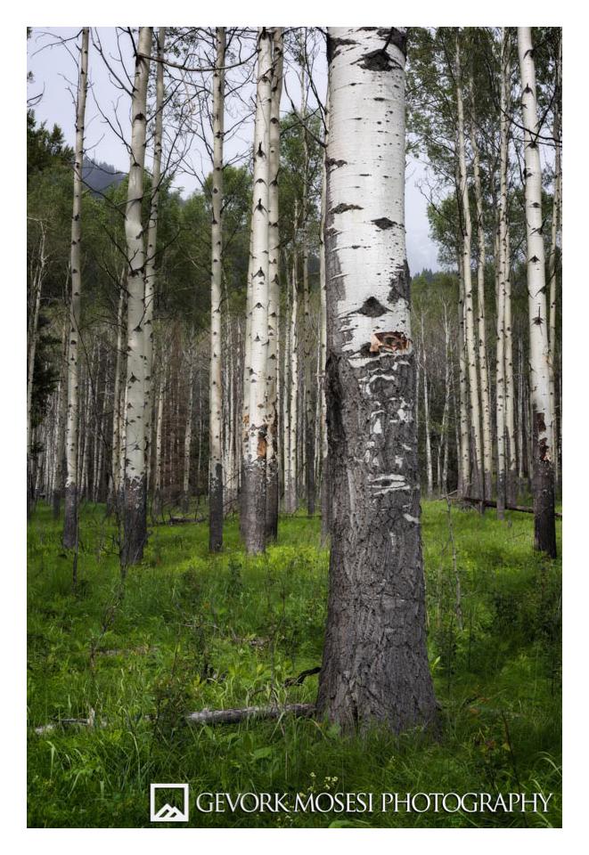 Gevork_mosesi_photography_landscape_banff_alberta_aspen_tree_trees_canada_canadian_rockies-2.jpg