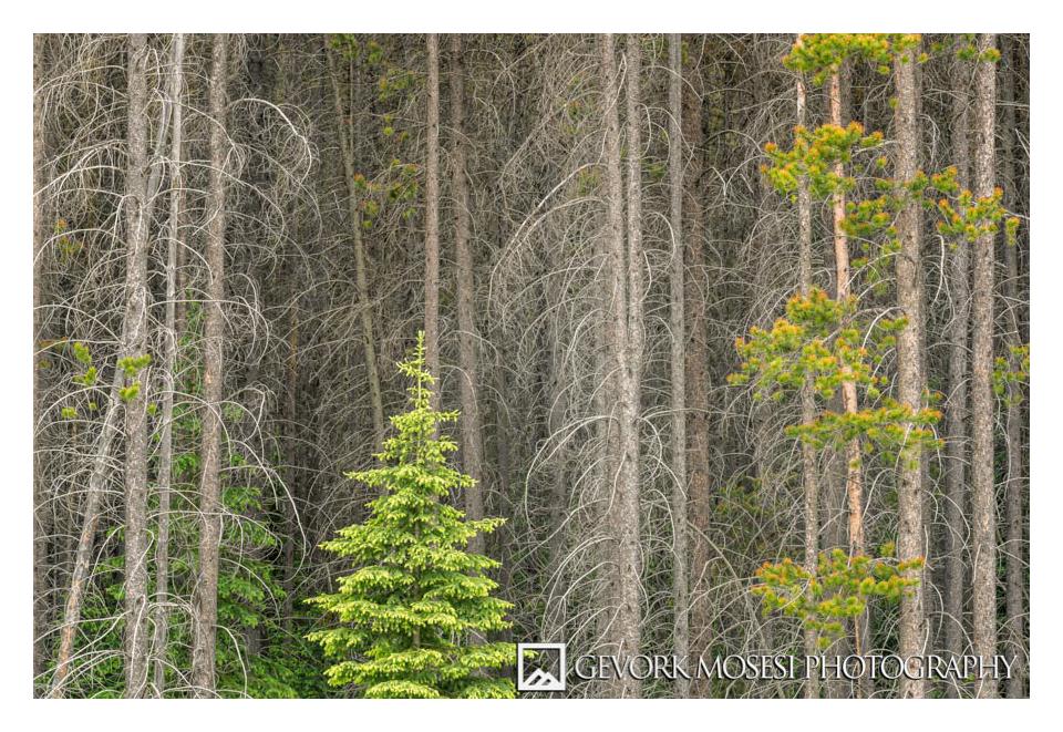 Gevork_mosesi_photography_landscape_banff_alberta_canada_canadian_rockies_trees_pine-2.jpg