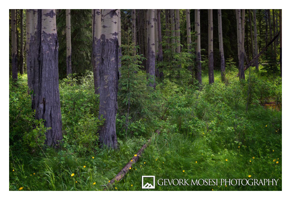 Gevork_mosesi_photography_landscape_banff_alberta_canada_canadian_rockies_trees_pine_aspen-1.jpg
