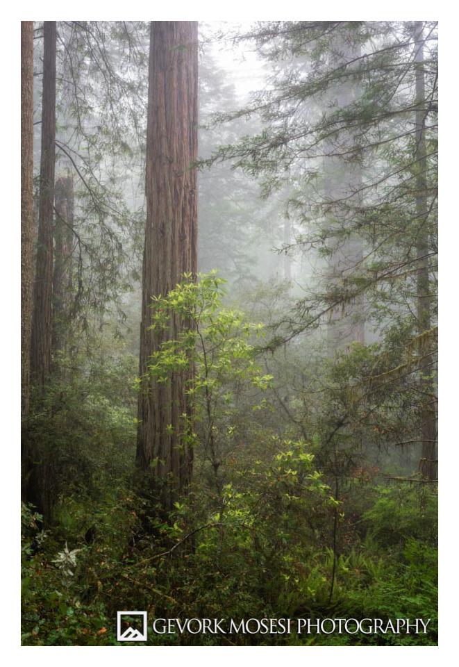 Gevork_mosesi_photography_redwoods_sate_park_national_park-1.jpg