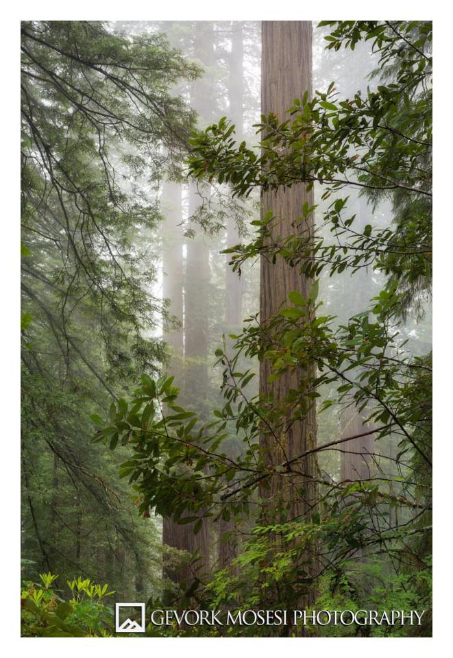 Gevork_mosesi_photography_redwoods_sate_park_national_park-2.jpg