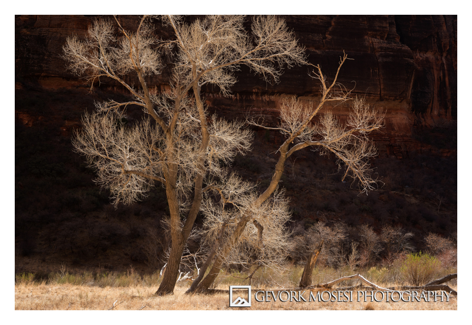 gevork_mosesi_photography_zion_tree_trees_cottonwood-1.jpg