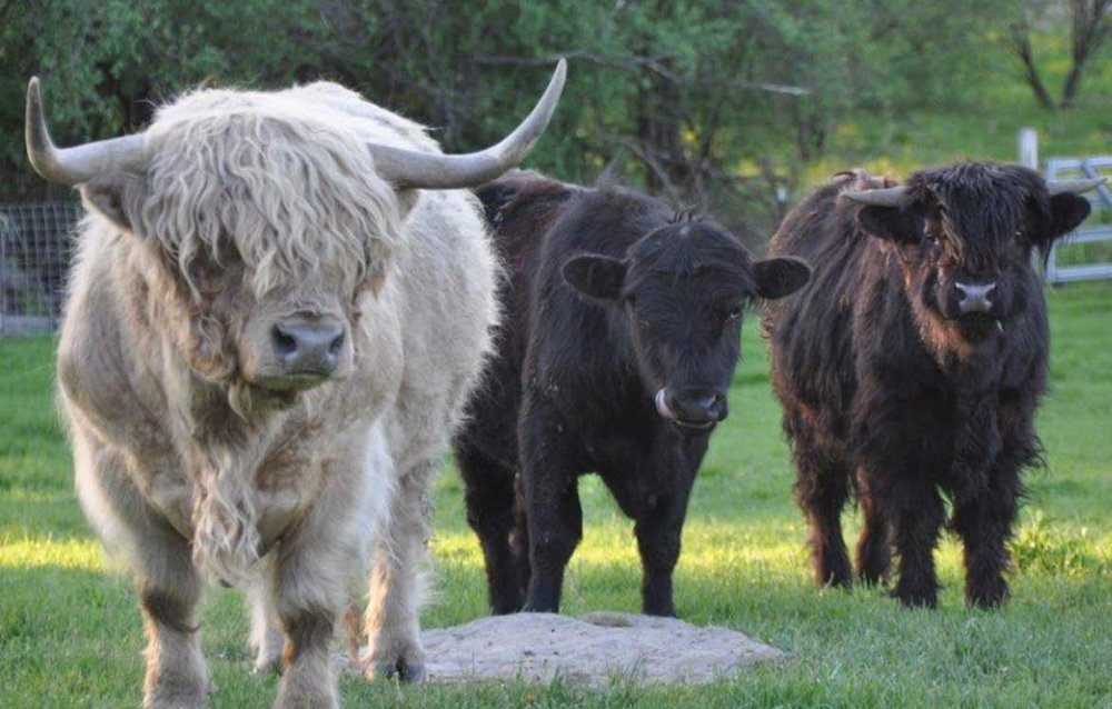 Banbury-Cross-Farm-Highland-Cattle.jpg