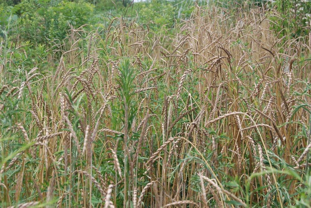 WheatTares.JPG